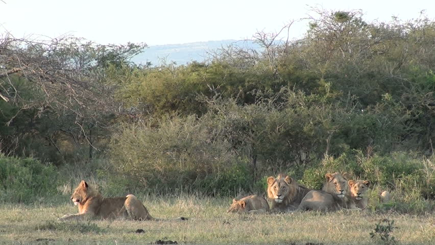 Lioness comes and greets pride of Lions