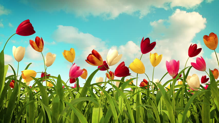 colorful tulips - HD stock footage clip
