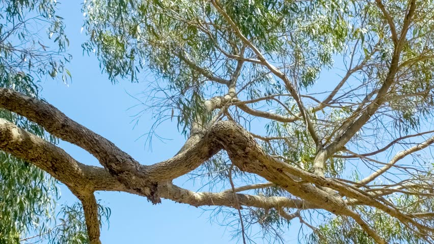 Eucalyptus tree branches