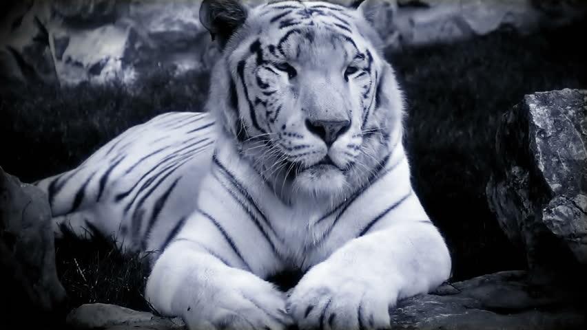 white bengal tiger resting