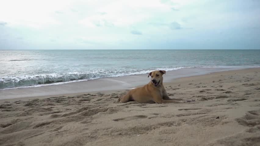 Dog lying on the sand at the beach against the sea at dawn. Slow motion | Shutterstock HD Video #13534805