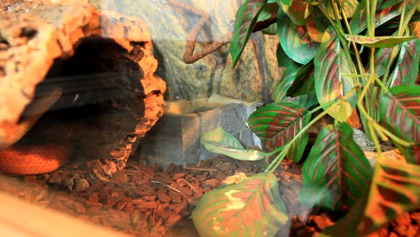 Red / Orange albino Snake eat a white mouse