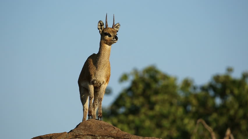 A small klipspringer antelope (Oreotragus oreotragus) on a rock, Kruger National Park, South Africa