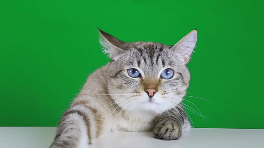 Sad cat sitting at the table on a green screen background | Shutterstock HD Video #13569914