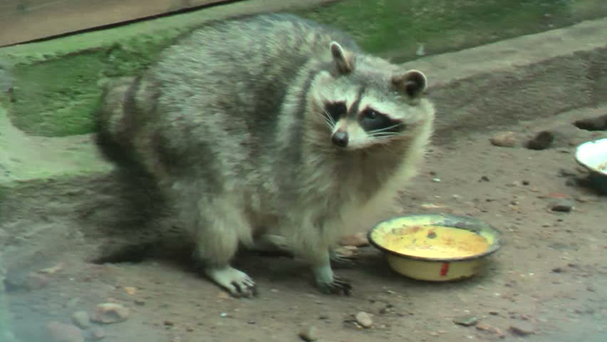 Raccoon (procyon Lotor) Licks a Stock Footage Video (100% Royalty-free)  13587335   Shutterstock