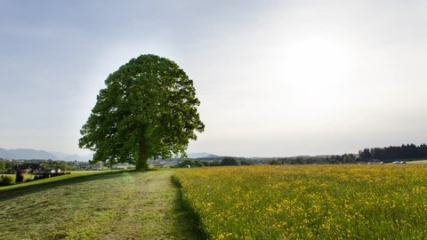 A timelapse showing  a big tree during the  4 weather seasons in austria, filmed over a period of one year