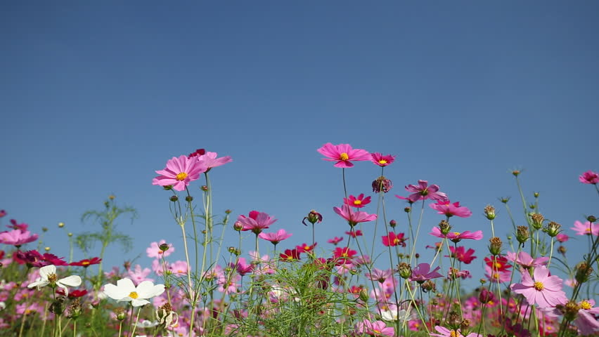 cosmos flower with wind blow #13644659