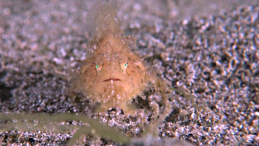 Hairy Frogfish on sandy bottom. The size of this Frogfish is less than 3 cm. Antennariidae, Antennarius striatus
