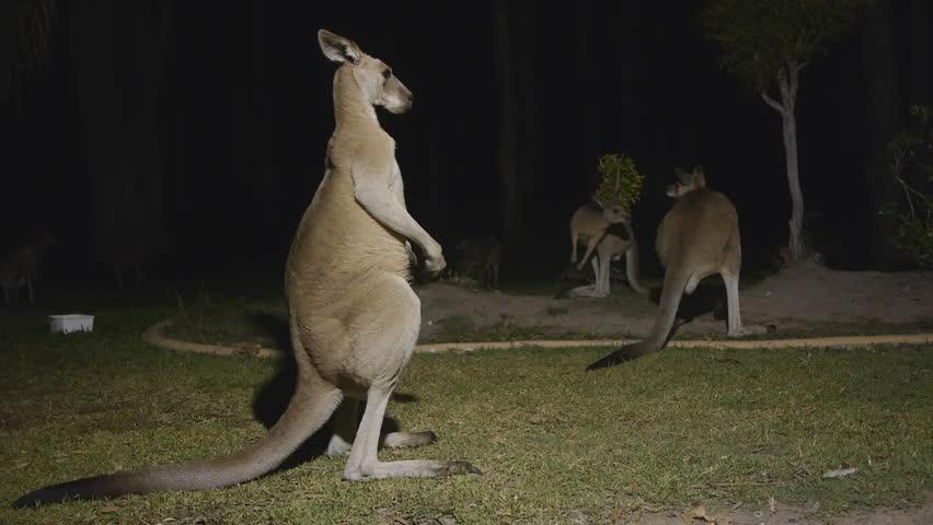 Wild Eastern grey kangaroos Fighting in the yard at night