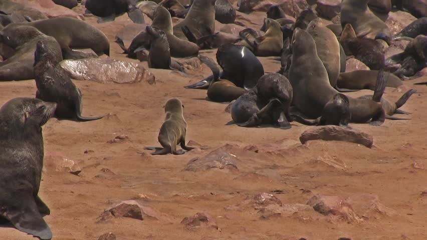 Fur seal at Cape Cross, Namibia