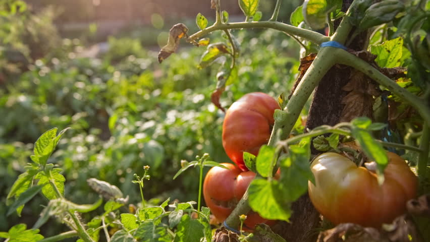Big tomato ripening fast on direct sunlight close up. Big garden with plants and tomato growing together turning in red color. | Shutterstock HD Video #13733795