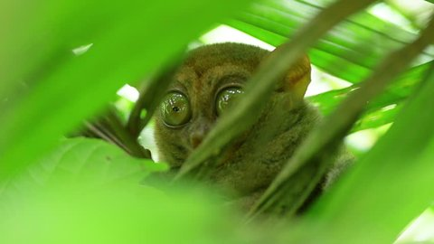 Tarsier, the smallest mammal in the world, looking around when hiding in the foliage. Bohol, Philippines