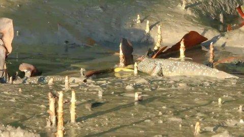 Amphibious fish are fighting