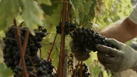The hands of a man cutting grapes of Chianti red wine during the harvesting process in a vineyard in Tuscany, Italy.