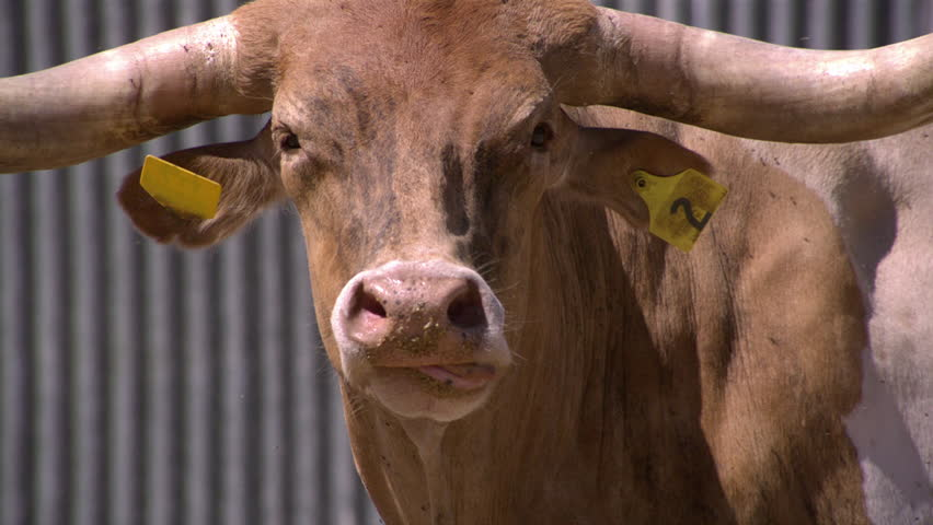 Slow-Motion Cow sticks tongue in nostril - Dallas,Texas,Usa, June, 2015