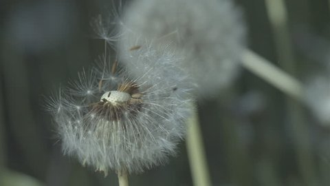 Slow Motion C/U Dandelion Clock Blowing - Austria, July, 2015