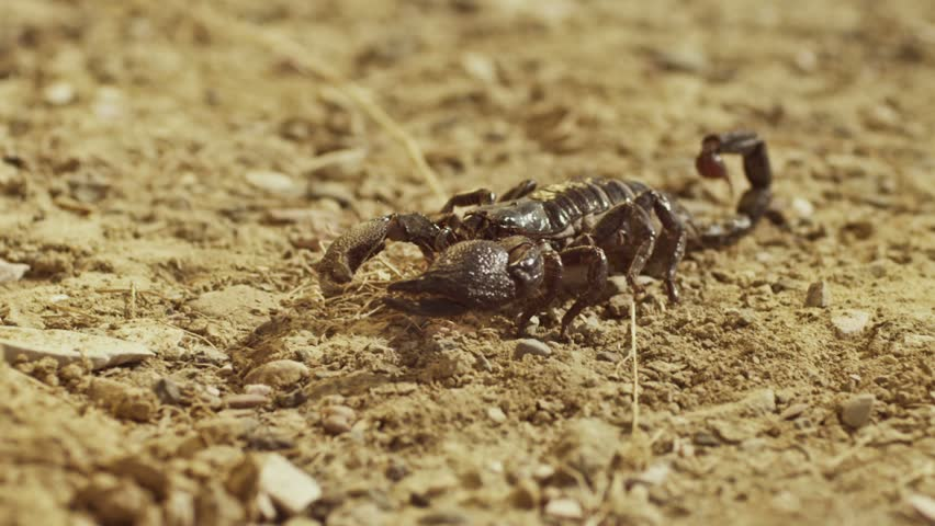 Scorpion running on ground, desert. Asian Black scorpion close up view . Shot on RED EPIC DRAGON Digital Cinema Camera with Ultra Prime Lenses.