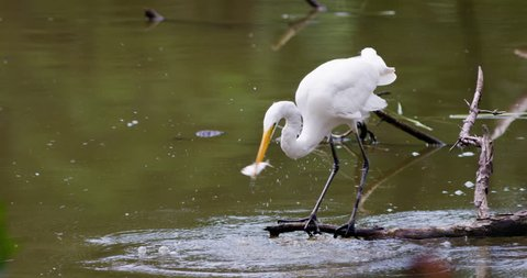 Great egret dips head into water and catches a small fish.