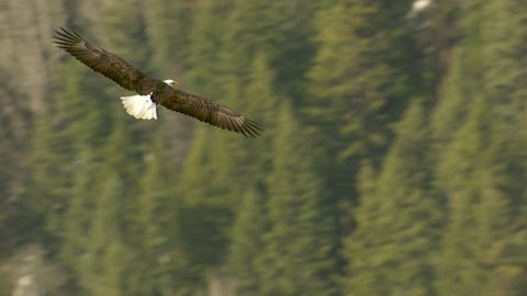 AERIAL MS TS Bald eagle flying over landscape / Nelson, British Columbia, Canada - Nelson, British Columbia, Canada - 28/03/2015