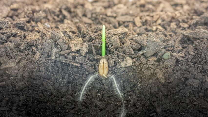 4k Timelapse video of a grain seed growing from soil, underground and overground view, 4k video at 29.97 fps/Wheat plant growing from soil