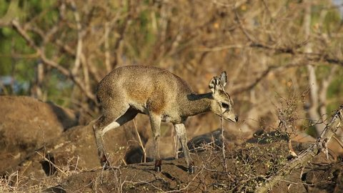 A small klipspringer antelope (Oreotragus oreotragus) feeding, Kruger National Park, South Africa