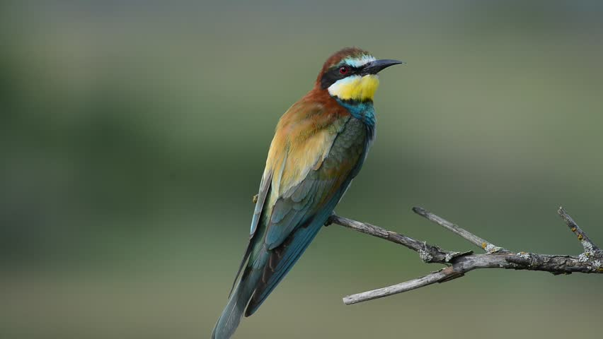 European bee-eater Merops apiaster sitting on the branch   Shutterstock HD Video #14151485