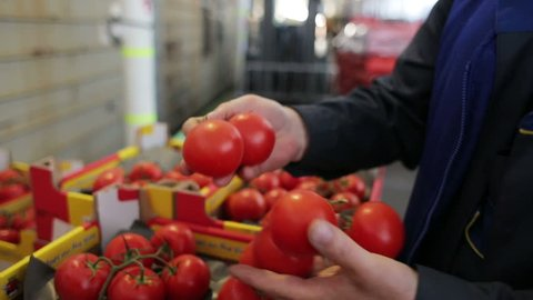 A worker checks the boxes of tomatoes after transport on train for resale to food companies and retailers. Order for carriage for eat. Indoors in factory. Imported food for resale to supermarket