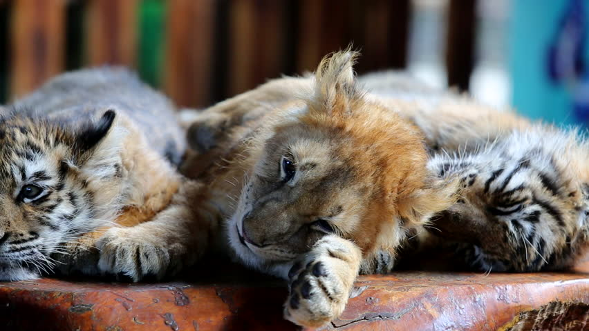 baby lion and baby tigers sleeping  #14235029