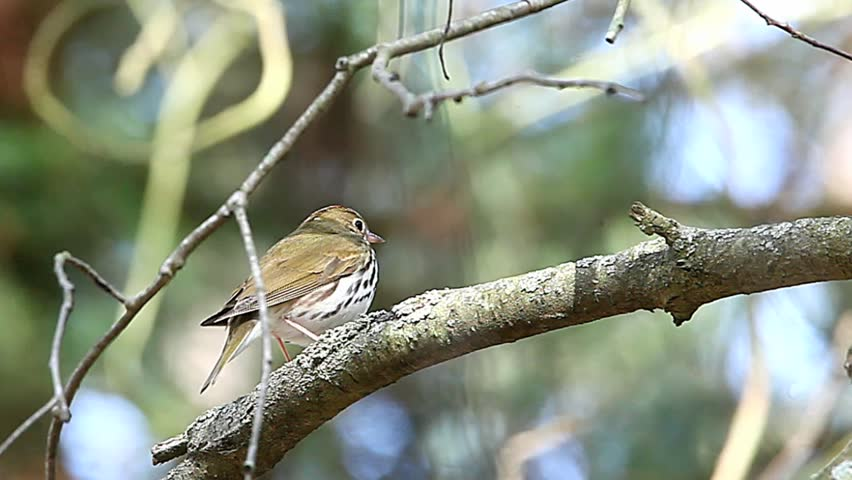 Header of ovenbird
