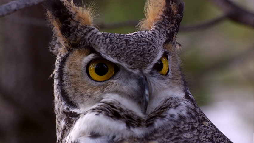 Shot of great horned owl's head swiveling and hooting.