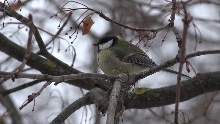 Header of Passeriformes