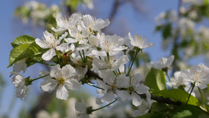 Seen Close Up Green Branch With White Small Flowers That Gently Sways From The Effects