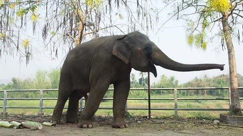 Thai elephant playful to make everybody happy.