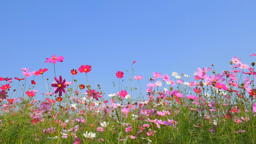 cosmos flower field with blue sky background