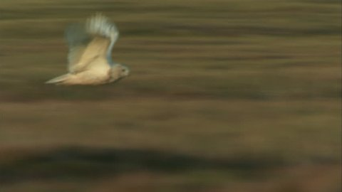 MS TS Snowy Owl (Bubo scandiacus) flying above grass