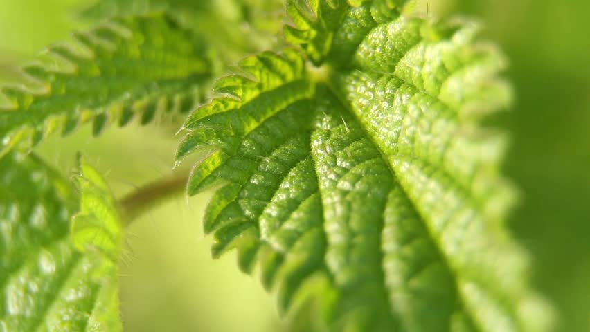 Stinging nettles nature background macro shot. Video footage of stinging nettles swinging gently in a spring breeze. Narrow DOF, camera pan right to left.