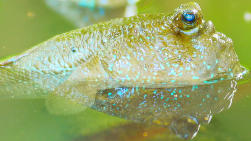 Exotic and funny tropical animal Mudskipper fish above water in Asian tropics