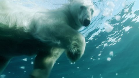 Underwater shot of a polar bear swimming in the Arctic Ocean, looking the diver (camera) and going away. View from above.