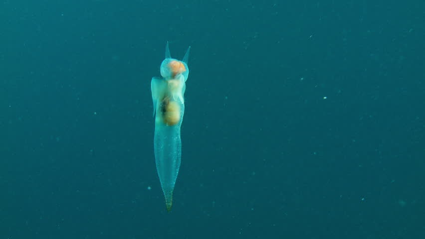Underwater shot of a Clione Limacina, sea angel or sea butterfly, swimming graciously in the Arctic ocean