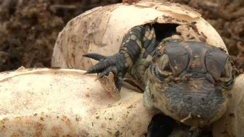 Alligator Eggs Hatch