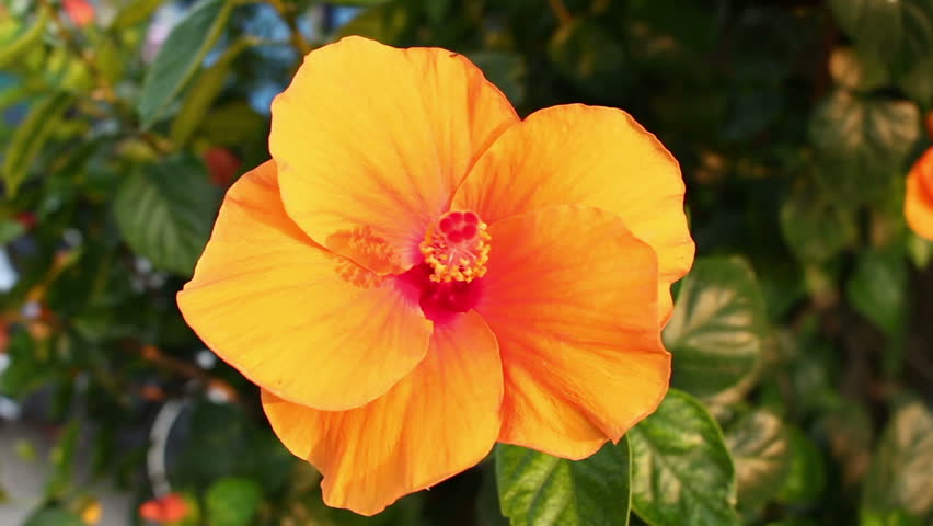Orange Hibiscus Flower Stock Footage Video 100 Royalty Free