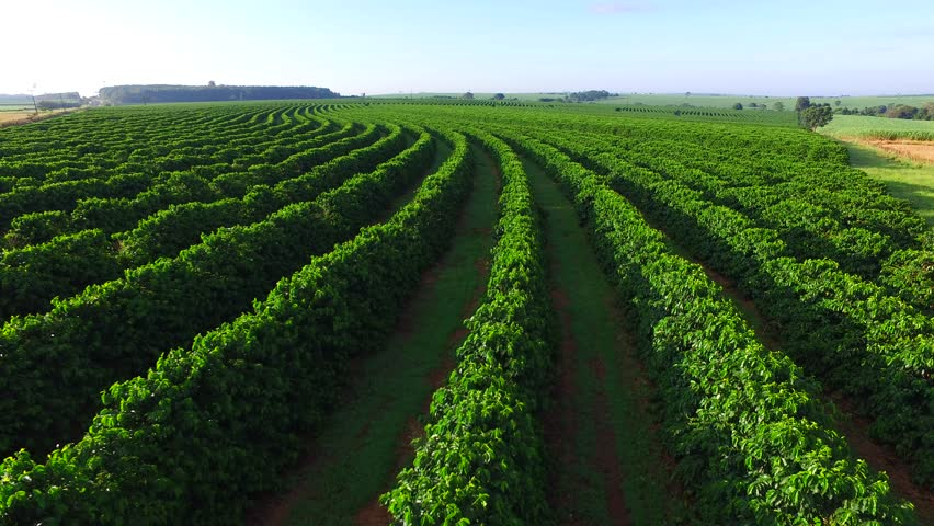 Aerial coffee plantation in Sao Paulo State - Brasil