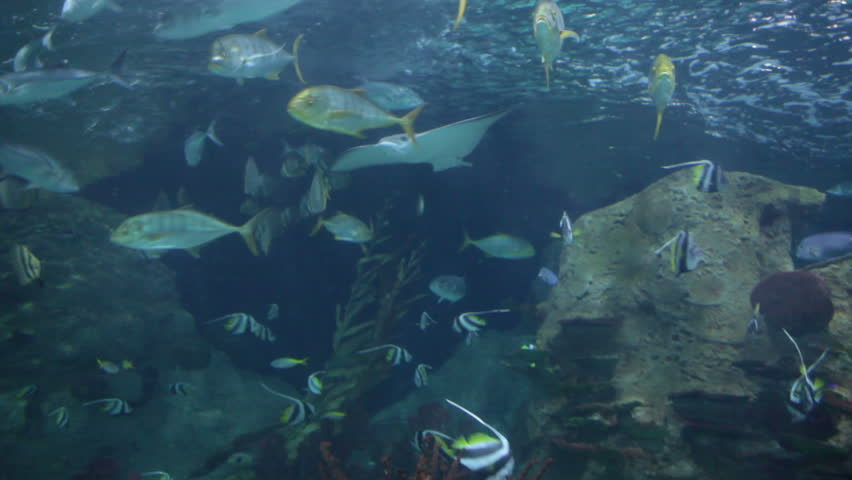 PUERTO DE LA CRUZ, TENERIFE, SPAIN-CIRCA 2016, JAN: Large species of fishes such as sharks, ramp-fish are viewed from underwater tunnel of the Loro Park Aquarium. Loro Parque is the best zoo in Europe   Shutterstock HD Video #14550415