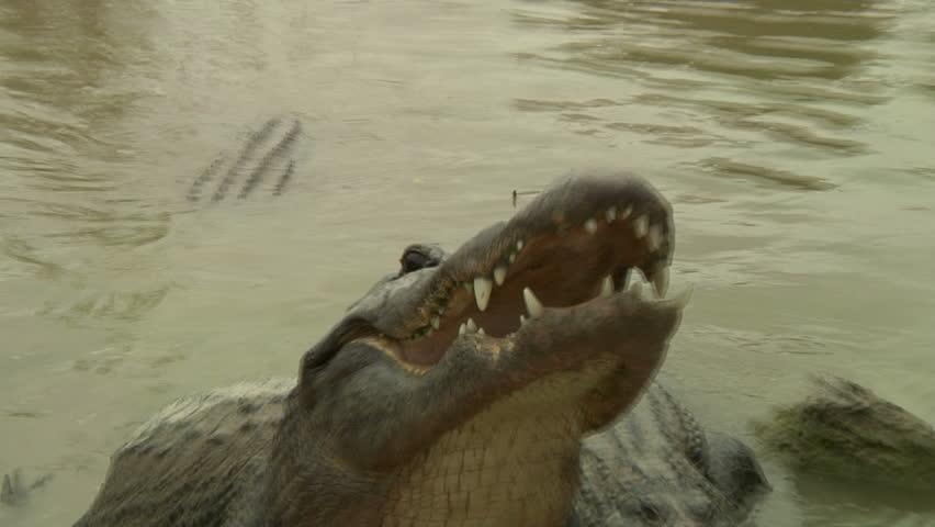 Alligators lurk along shore, open mouths wide