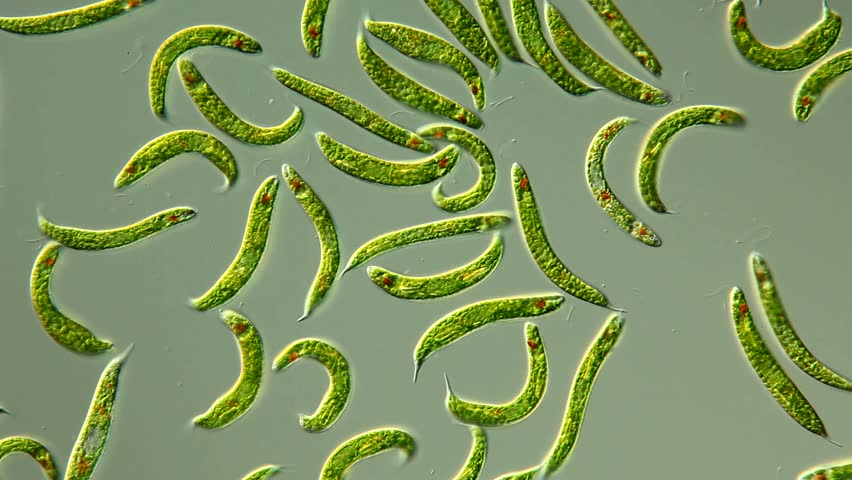 Lepocinclis spirogyroides / Euglena spirogyra - schraubiger Augenflagellat, 100µ, culture, focus: flagellum, eyespot, large paramylon grains, chloroplasts, conspicuously spiraled pellicle – DIC