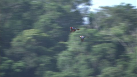 Three Scarlet Macaws In Flight Over Jungle Canopy