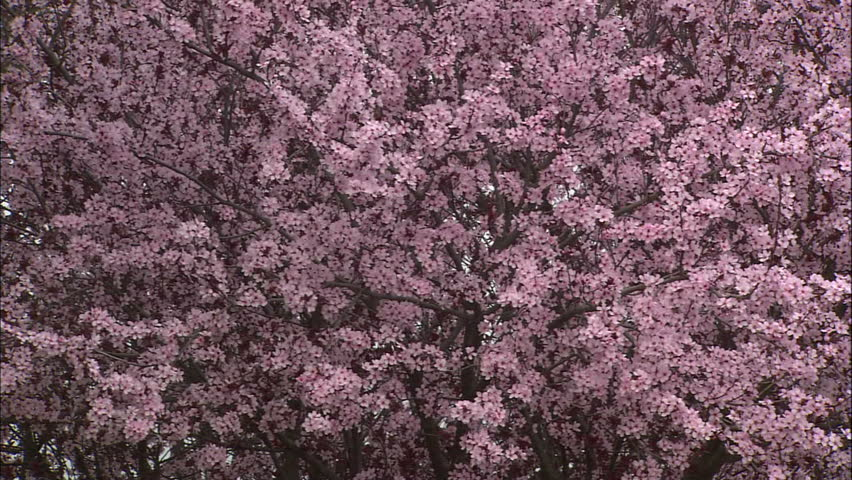 Millions Of Pink Plum Blossoms In Spring | Shutterstock HD Video #1466635