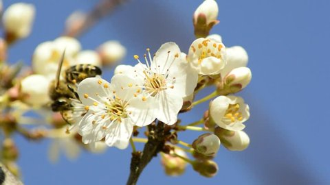 Spring flowers, Blackthorn and Coltsfoot
