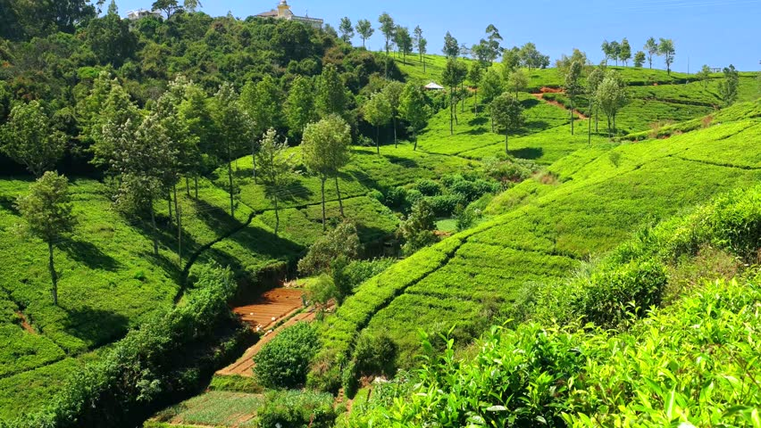 Beautiful Landscape Of Tea Plantation With Mountains And River In ...
