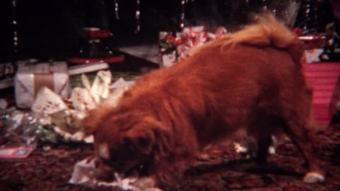SAN DIEGO,CALIFORNIA 1956: Dog opens Christmas gift ripping open newspaper wrapping.